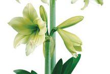 Amaryllis/ amaryllidoideae
