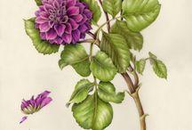 Botanical Art / Pflanzenporträts, alt und modern.