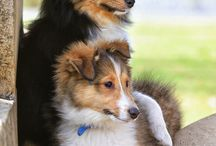 rough collies and Shetland sheepdogs