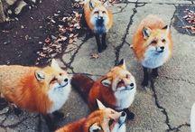 rókák