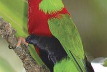 Phigys / Il genere di pappagalli Phigys, come dice il nome, è originario delle Isole Figi. Perfino su queste piccole e remote isole del Pacifico la presenza umana ha portato alla parziale distruzione dell'habitat, alla deforestazione con conseguente messa in pericolo di questa specie di pappagalli loridi.