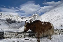 Cattles / Yak belongs to the same cow family as the Asian water buffalo, the African buffalo and the American bison. However, the yak is slightly more like the ...