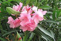 Poinsonous Plants / Poisonous Garden Plants