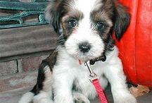Tibetian Terrier pictures