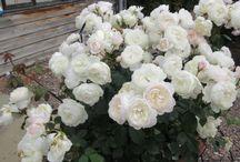 Landscape-Roses