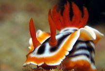 Sea Slugs / Nudibranchs / Sea slugs / Nudibranchs