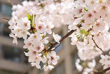 Yeouido Spring Flower Festival, Korea