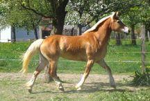 L'Haflo Arabe / Le Haflo Arabe est le croisement entre le Haflinger, et les Arabes, elle existe depuis environ 20 ans et a 50 % de sang Arabe et 50 % de sang Haflinger. Le critère d'appartenance à la race Arabo Haflinger devient alors l'apport de sang Arabe, qui doit être compris entre 25 % et 75 %. Ce cheval constitue désormais une race officiellement reconnue.