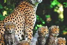 Leoparder
