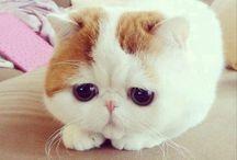 pireli kedi