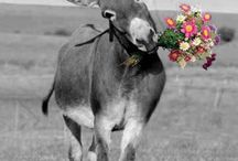 Donkeys & mules! / Asinelli, somari, burros & anes