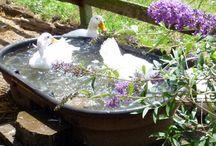 Raising ducks / Raising ducks.