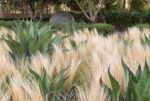 Ornamental Grasses / Drought tolerant and deer resistant ornamental grasses