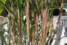 sugarcane gard en