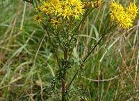 plantes dangereuses et parfois invasives