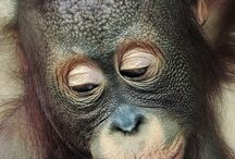 Animals from around the world / Want to visit the orangutans in Borneo or Kuala Bears in Australia? This is the place to see the worlds most amazing animals
