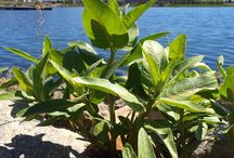 Podcast - Grow Milkweed Plants / Audio recording, download, stream. All about milkweed, monarchs and you.