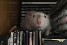 Pretty Rats / My home ratty