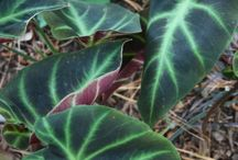 2015 PDN Remusatia / The genus Remusatia is an exotic aroid that is similar to Colocasia except for a few minor details. Originally, plants in this group were classified as caladiums. These species were later moved into the genus Colocasia before finally being put into Remusatia in the 1820s. In the late 1980s the genus Gonatanthus was merged with Remusatia.