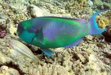 pez loro arcoiris