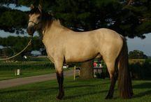 L'Abstang / L'Abstang est une race issue d'un croisement entre un Mustang et un Pur Sang Arabe, cette race serait née dans l'Utah aux États Unis, au tout début des années 90 par Michele Brown.