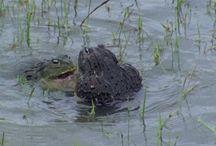 жабы toads