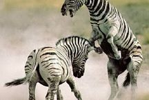 Think Like a ZEBRA! / Zebra is our face on the world. We love zebra. We adopted a Zebra. We sit on a Zebra chair. We Think LIKE a ZEBRA. Black & White, positive and negative, true & false, manly & womanly. WE THINK!