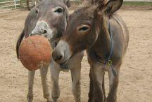 Donkeys!