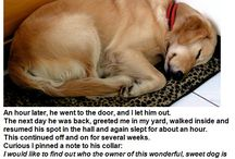 Cute golden retriever passed out / That's awesome!!!!