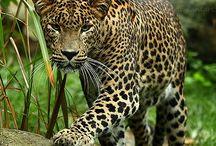 leopardit