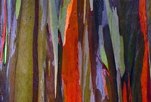 Rainbow Eucalyptus Tree after shedding it's Bark