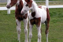 Pregnant Mare and New Foal Info (Going To Be A Mommy!!!) / I need all the info I can get. I'm leasing a pregnant mare, then the owner is giving my the foal, after he/she (hoping she) is weaned. APHA / by Rebecca Hupfeld