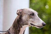 Great dogs - The Greyhound Family
