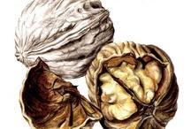 Walnuts drawing
