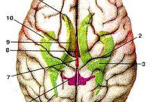 Brain Anatomy/ Анатомия мозга