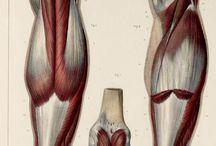 Anatomy Class - Legs