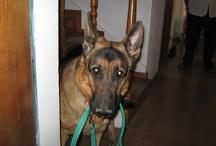 Felipe, my dog   Mi perro Felipe / I Love German Shepherd   Felipe, nuestro pastor alemán, el pequeño de 4 patas que nos vuelve locos. ;)