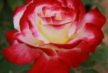 Rose Strong Fragrance