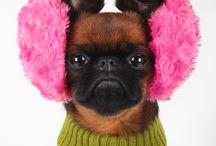 griffon dog petit brabancon