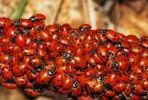 ladybirts