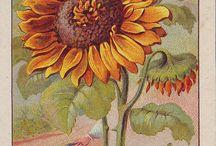 Słoneczniki - sunflowers