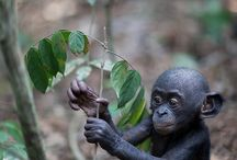 Monkeys, apes and gorillas / by Jim Barron