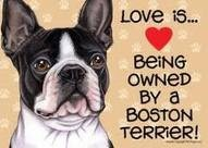 my dog buddy the boston terrier / by Gordon n  Kelly Cardwell
