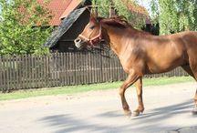 Piękne konie z naszych stron / Magnificent horses / Piękne konie z naszych stron / Magnificent horses  www.kiermusy.com.pl