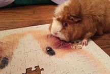 Guinea Pigs Are So Cool