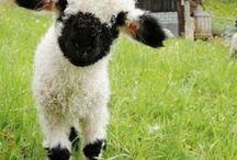 Sheeps and other fiber bringers. / The bringers of the fiber. Sheep, Goats, Alpaca, Rabbits, Camels, etc.