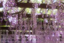 Gouden regen / wisteria
