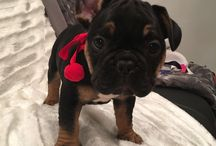 French bulldog puppies / My little fur babies are available in 2 weeks to go to their new loving homes