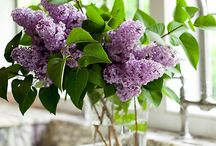 Lavender Pantone