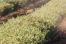 Our Farm / Our passion for Australian jojoba starts at our own farm at Yenda, New South Wales, Australia.